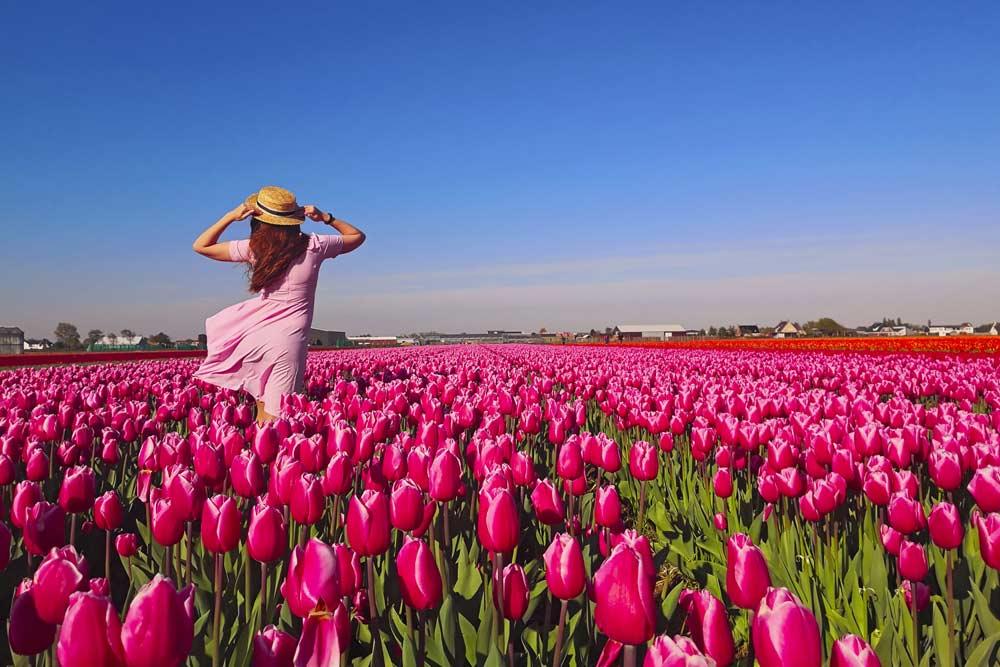 tulipanes lo que debes saber